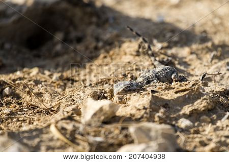 Desert Agama sensed the danger and clung to the ground (Trapelus mutabilis)