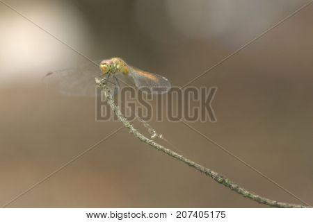 Sympetrum vulgatum ( vagrant darter ) closeup