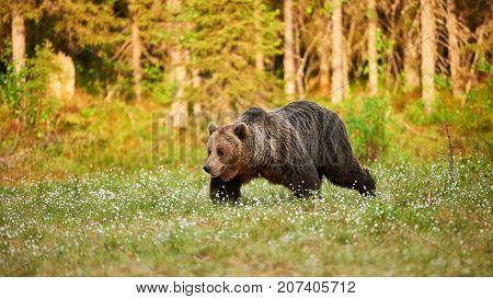 Wild brown bear walking in the green finnish taiga at dawn