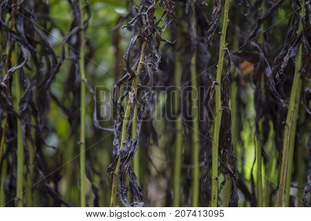 Dark and green wilted stems in autumn background