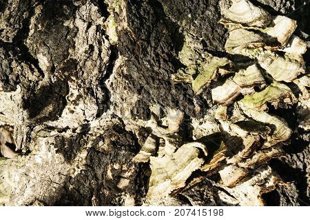 Old tree bark cracked with mushroom outgrowth background texture. Pattern of tree trunk for design