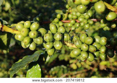 Green coffee bean on coffee tree in Dalat, Vietnam