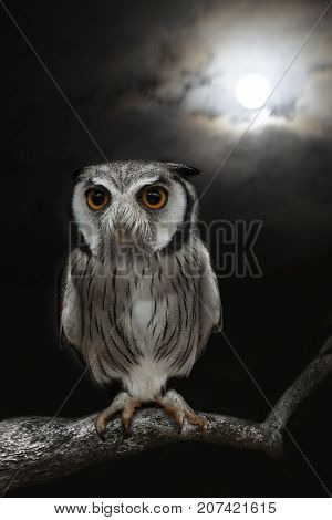 Owl standing alone in the night with moonlight in background.