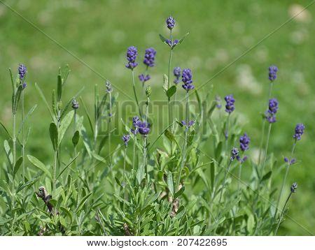 True Lavender In Garden