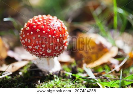 Poisonous Mushroom Amanita Muscaria In Forest