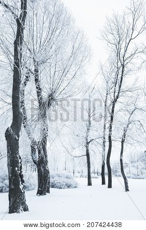 Trees Covered With Snow In Winter Park