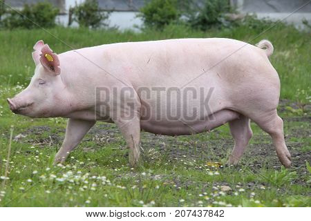 Side View Shot Of A Hungarian Big White Breed Domestic Pig