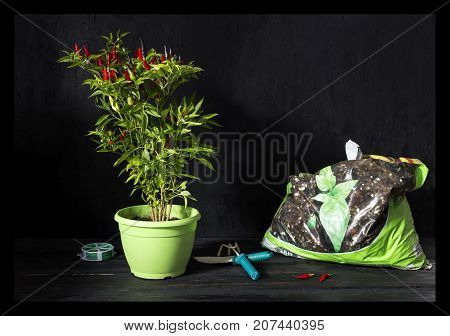 Plant transplantation. Hot pepper in a pot, spatula and rake on a wooden table close-up