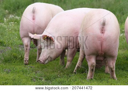 Shot of group of pink colored young sows on summer pasture from behind