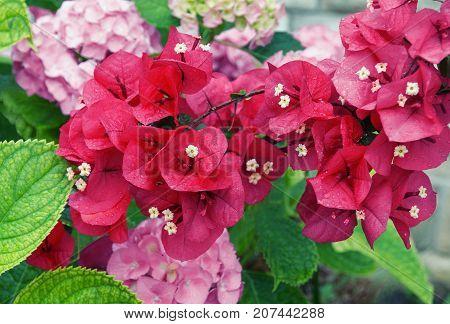Flowers in the garden: Hydrangea and ornamental vine of Bougainvillea
