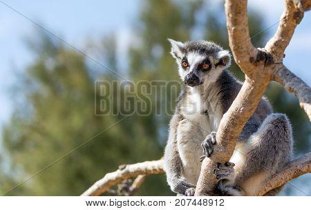 A ring-tailed lemur (Lemur catta) on tree