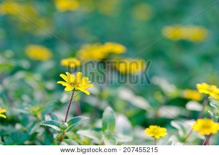 Yellow Daisy Cota tinctoria golden marguerite perennial