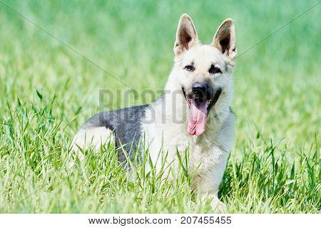 east european purebred shepherd dog in field