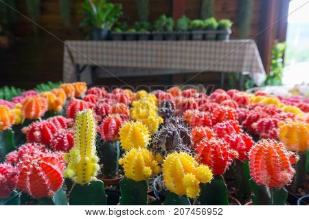 multi color mini cactus on the table with copy space for text