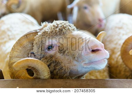 Close Up Of Big Horn Sheep In A Fence Or Corral. Selective Focus.