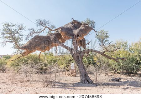 GOCHAS NAMIBIA - JULY 5 2017: Graves of fallen German soldiers under a camel-thorn tree with a large sociable weaver bird nest on the C15-road south of Gochas in the Hardap Region in Namibia