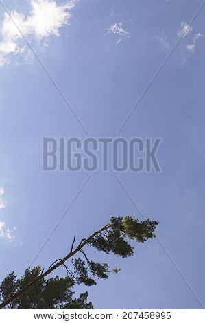 white clouds in a blue sky over the green pine treetops