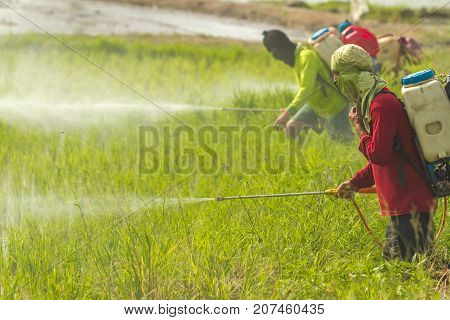 Farmers are spraying pesticide to protect plants by manual backpack sprayer.