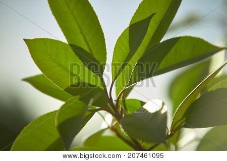 Hedge Leaf