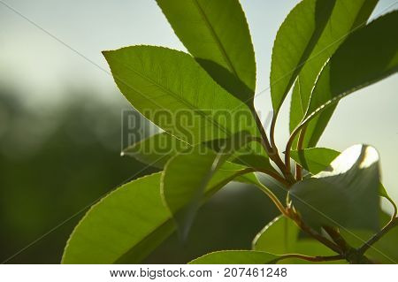 Hedge Leaf