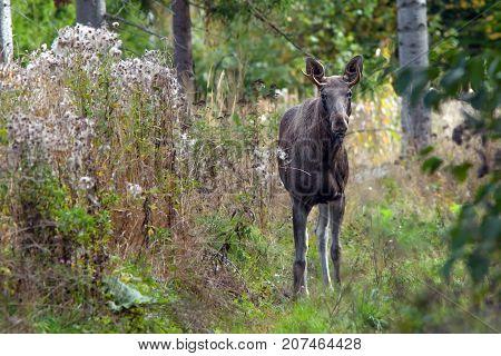 Young Elk Walking In The Autumn Woods