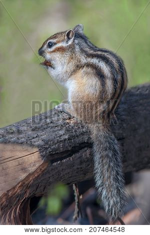 A Cute Furry Chipmunk Sitting On A Stump And Eats