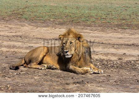 Portrait of lion resting on the ground. Sandy savanna of Serengeti, Tanzania