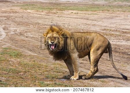 The big lion growls. Sandy savanna of Serengeti, Tanzania