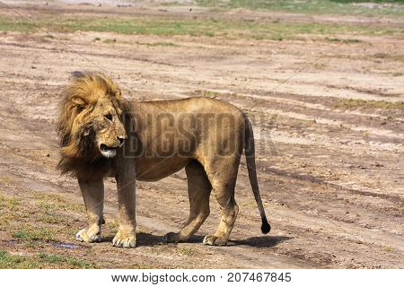 Attentive look of the lion. Sandy savanna of Serengeti, Tanzania