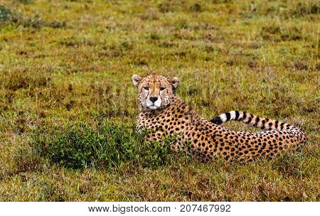 Cheetah resting on the grass in the Serengeti, Tanzania