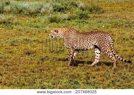 The cheetah creeps up. Serengeti, Tanzania. Eastest Africa