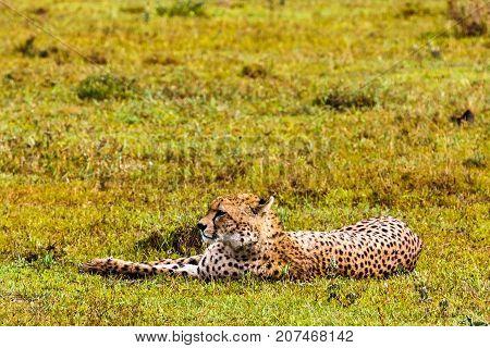 Cheetah resting on the grass. Serengeti, Tanzania