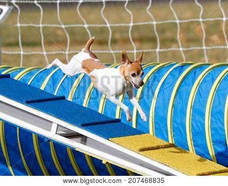 Small dog flying down the dog walk in agility