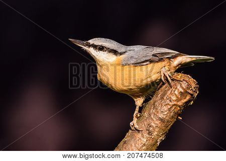 Nice Single Male Nuthatch Perched On Twig