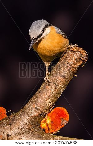 Nice Single Nuthatch Perched On Twig With Mushroom