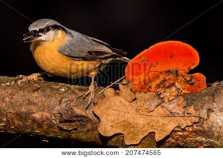 Nice Single Nuthatch Perched On Twig With Seed In Beak