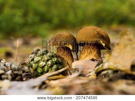 Pair Of Edible Boletuses In Dry Leaves