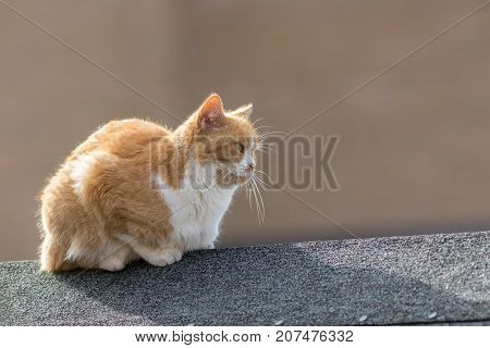 Ginger and white domestic pet cat lying on a garden shed roof top. Plain background with copy space.