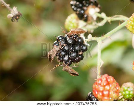 Three Big Dock Beetle Bugs Close Up On Blackberry Outside