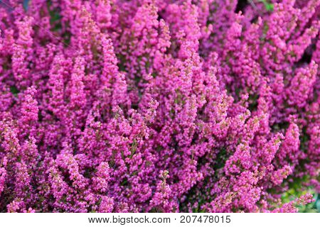 Background Of Beautiful Flowers Of Erica