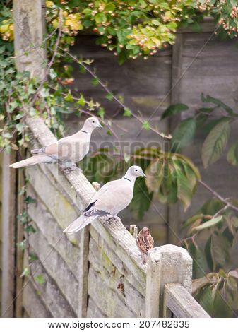 Beautiful Zoom Portrait Of Collared Dove Perched On Wooden Fence Garden