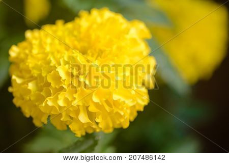 Close-up macro detail of multiple yellow golden marigold flowers with leaves in the background. Ornamental houseplants and tropical flowers concept.