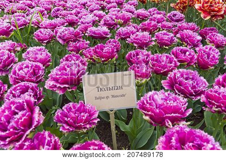 Tulips Of The Mascotte Species.