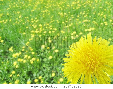 A dandelion flower close-up against a background of blurry dandelions. Nature. Yellow flowers and green grass. Sunny day.