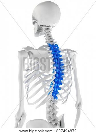 3d rendered medically accurate illustration of the thoracic spine