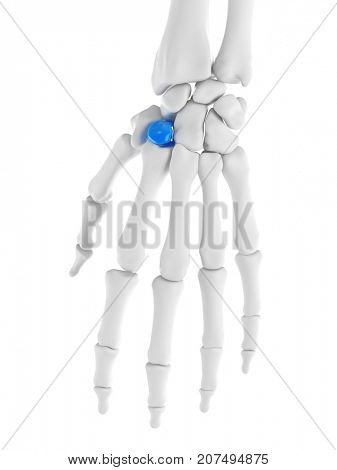 3d rendered medically accurate illustration of the trapezoid