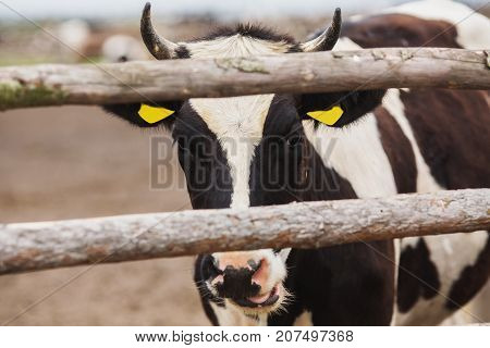 Cow closeup on the farm with tags on ears. A cow with yellow tags. A cow in the street. Black white cow. A cow in the village. Cow behind the fence