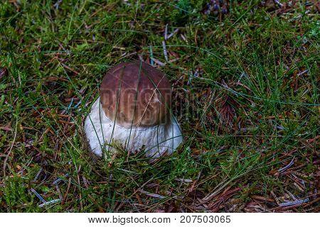 A Cep or Boletus Edulus on the forest floor.