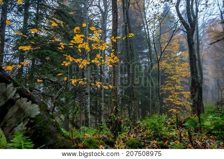 Fantasy landscape of the mysterious foggy autumn forest and golden tree in front