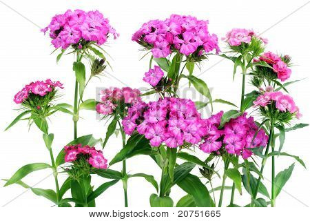 Pink Carnations Isolated